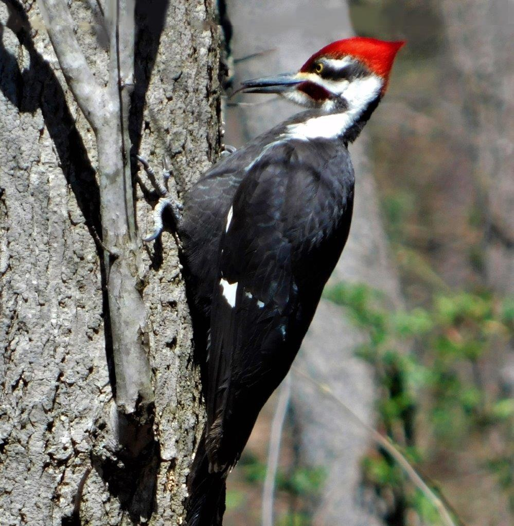 10b. Pileated Woodpecker