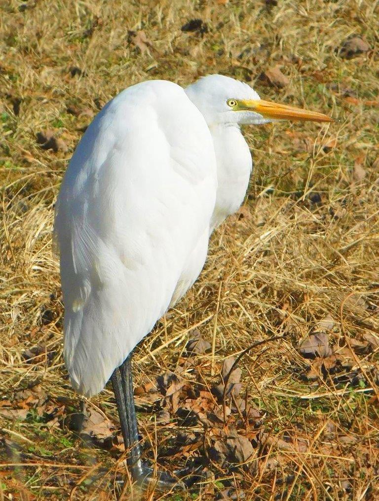 20. Great Egret