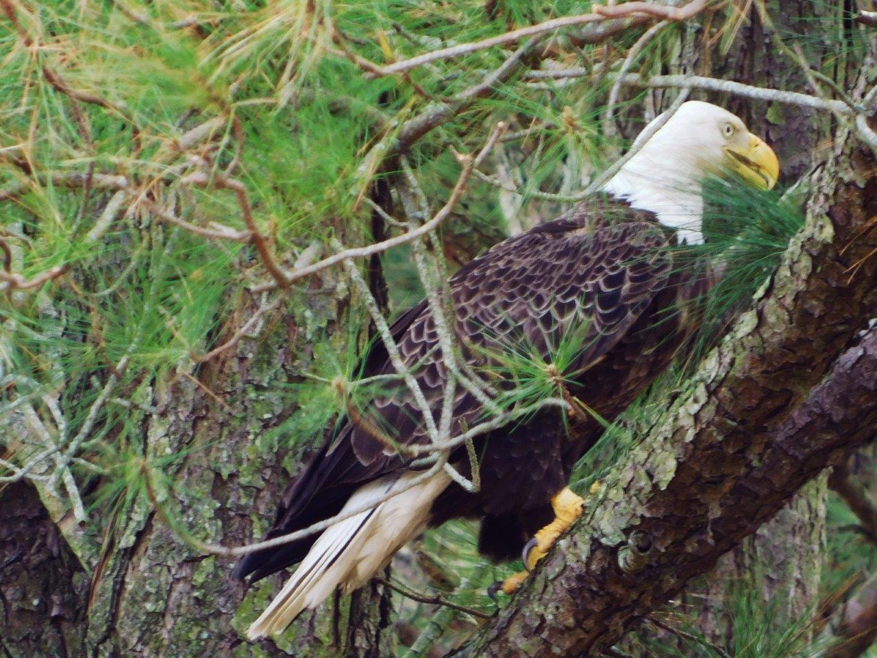 27. Bald Eagle