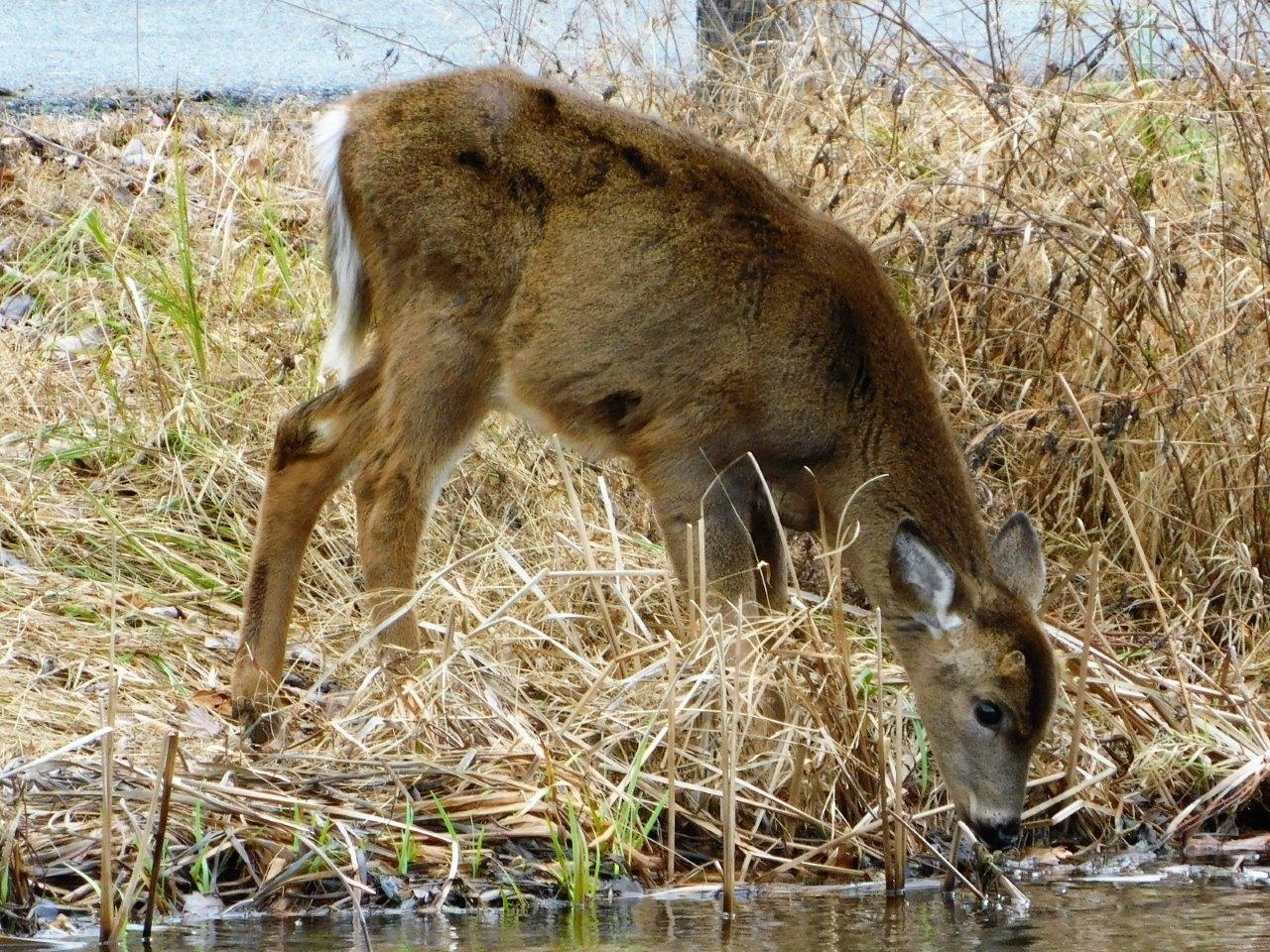 28. Sitka Deer