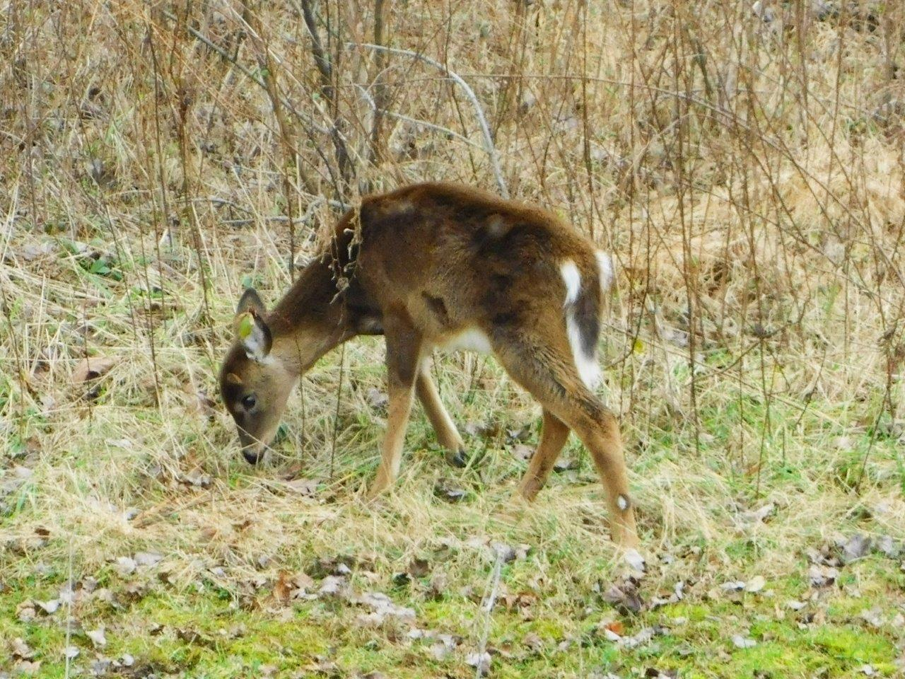 29. Sitka Deer