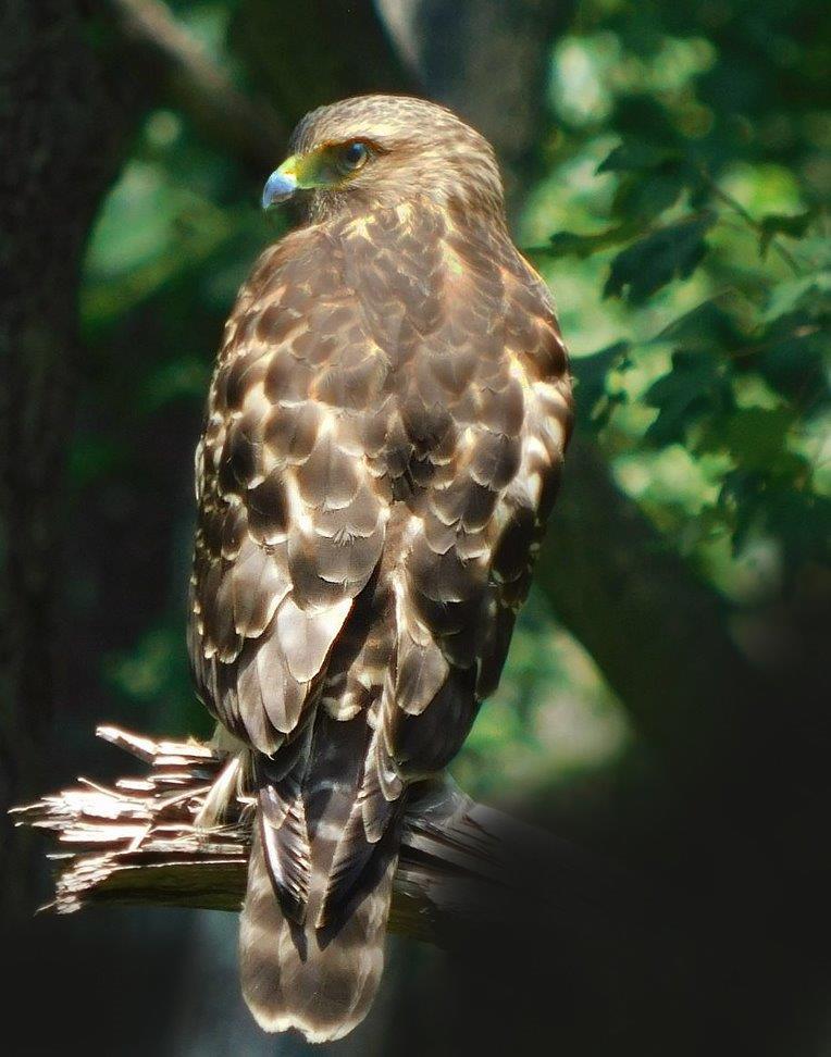 3. Red-Shouldered Hawk