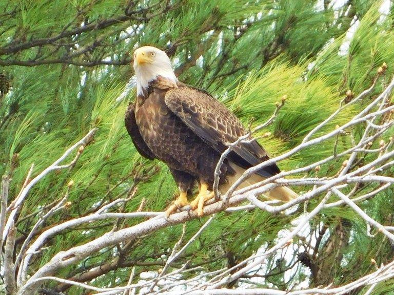 30.Bald Eagle
