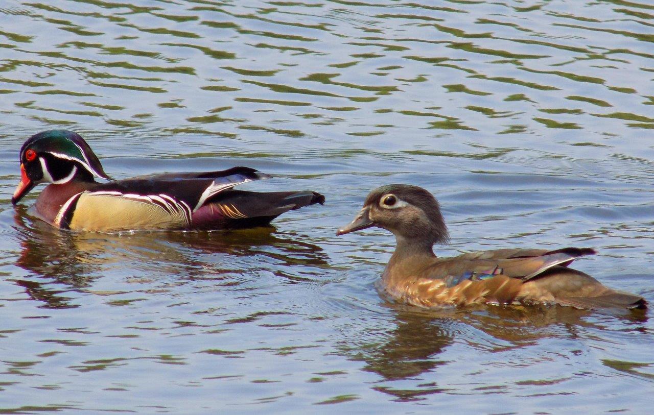 4. Male and Female Wood Ducks