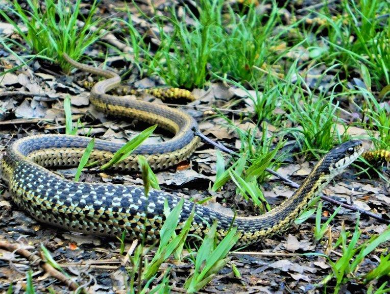 40. Yellow Garter Snake