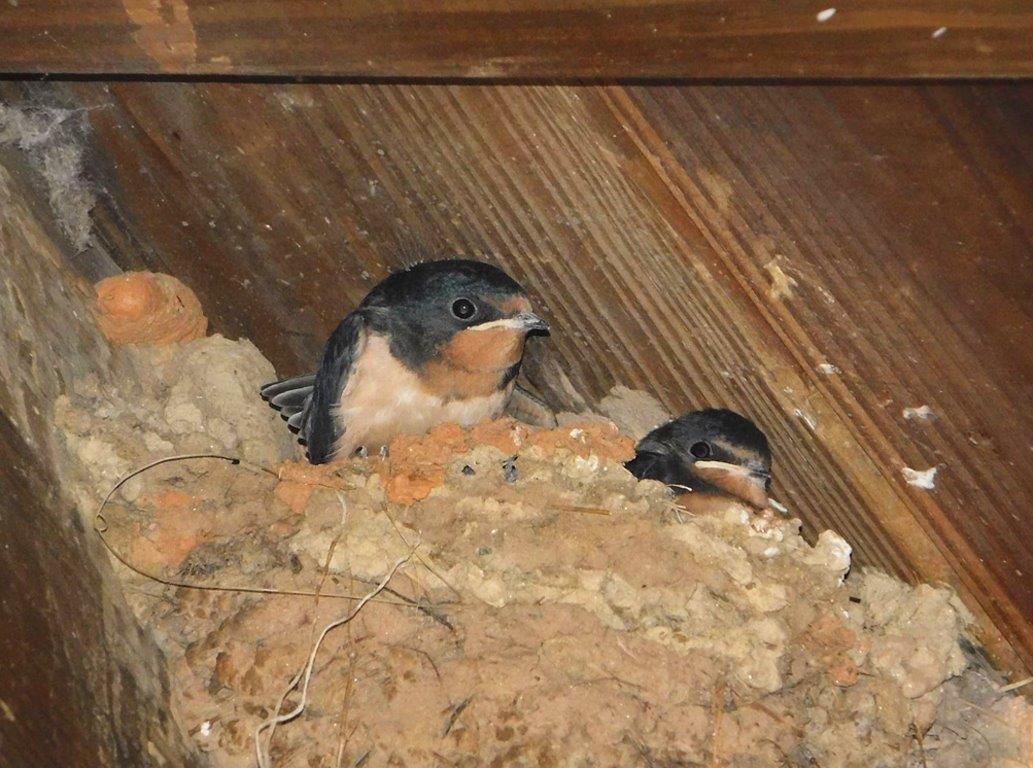 44. Fledgling Barn Swallows