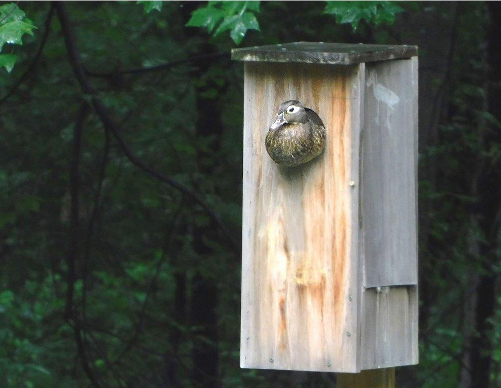 46.Female Wood Duck in Nesting Box