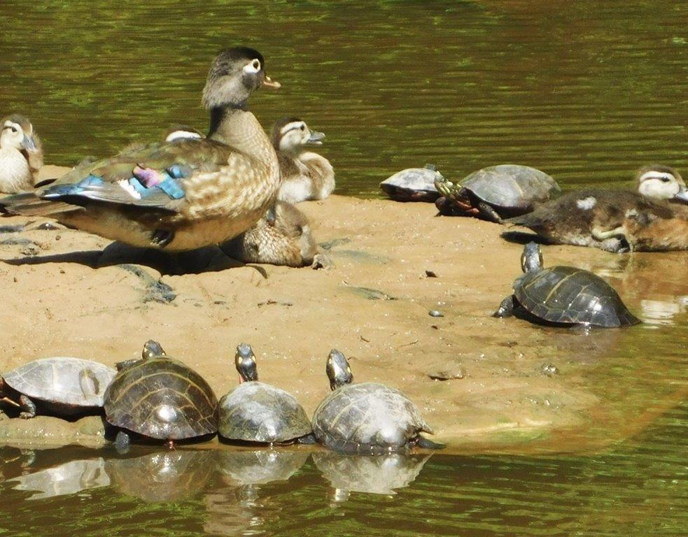 47. Wood Duck & Turtles