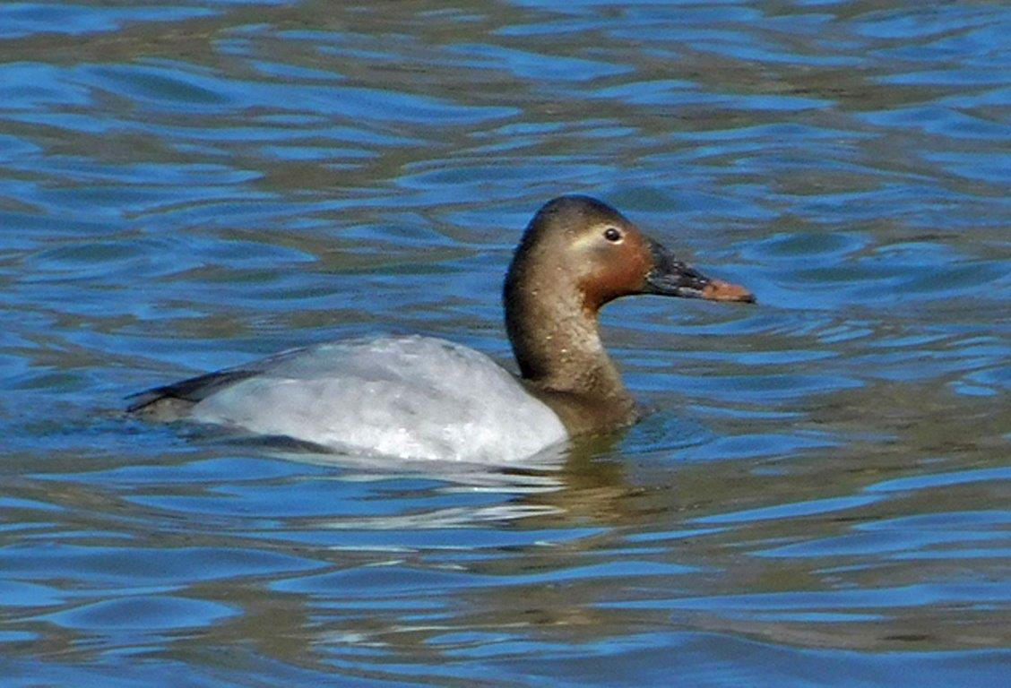 56. Male Canvasback