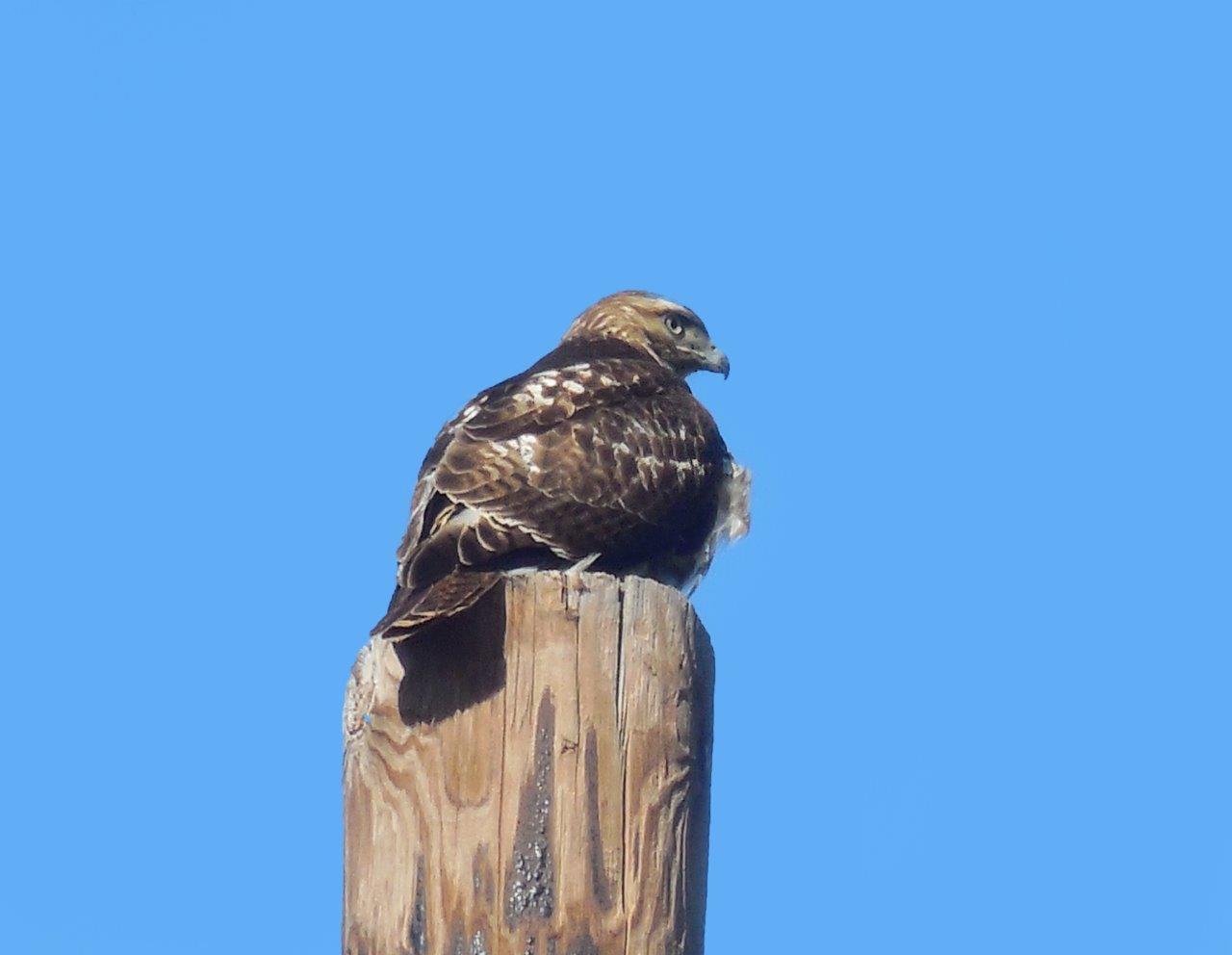 59. Red Shouldered Hawk