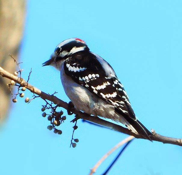 9a. Downy Woodpecker