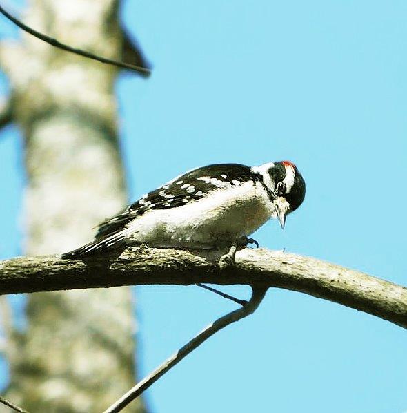 9b. Downy Woodpecker