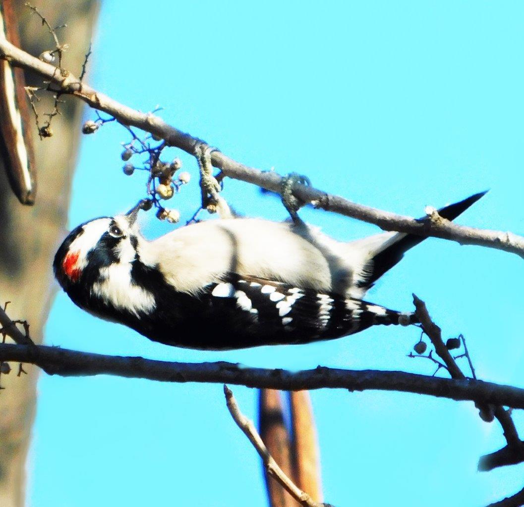 9c. Downy Woodpecker