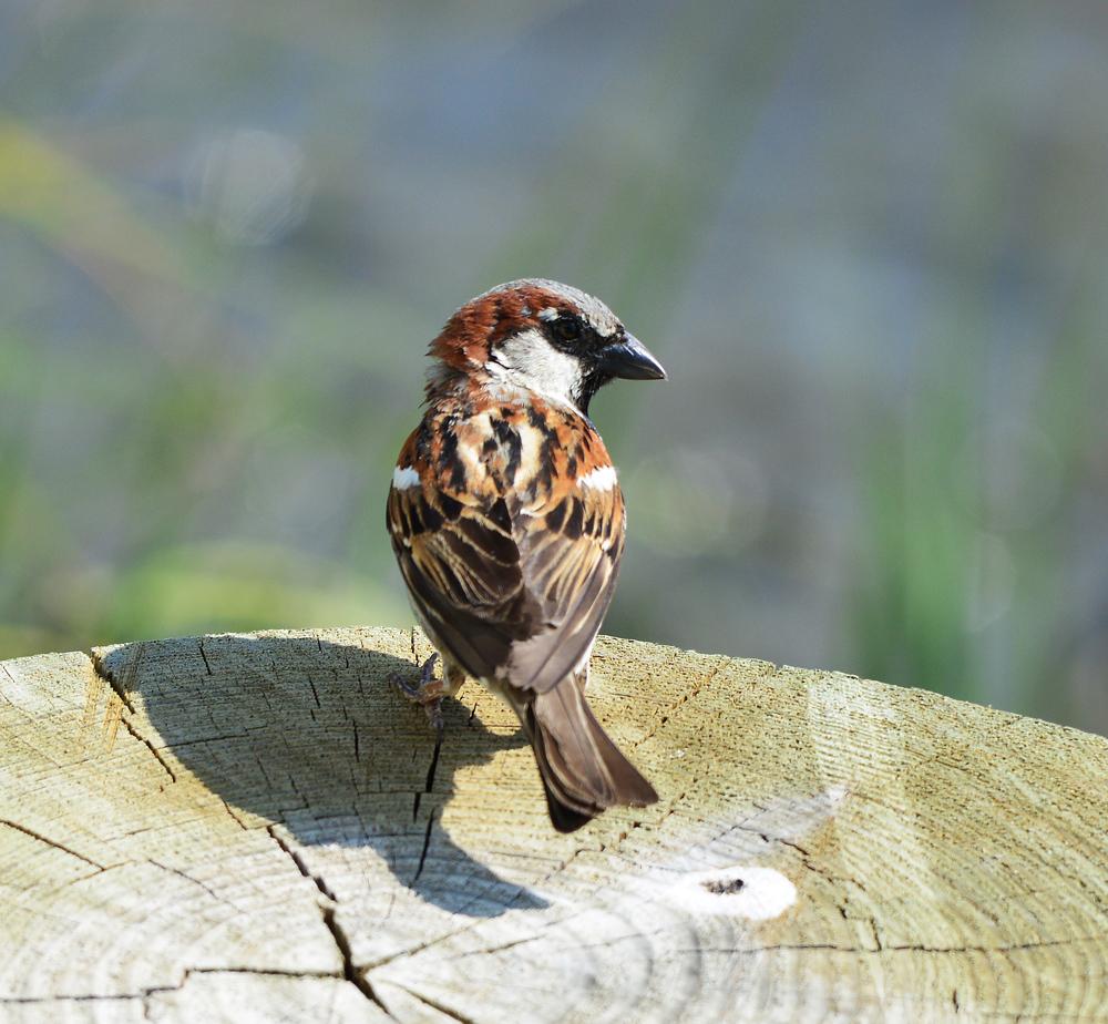 A friendly Sparrow