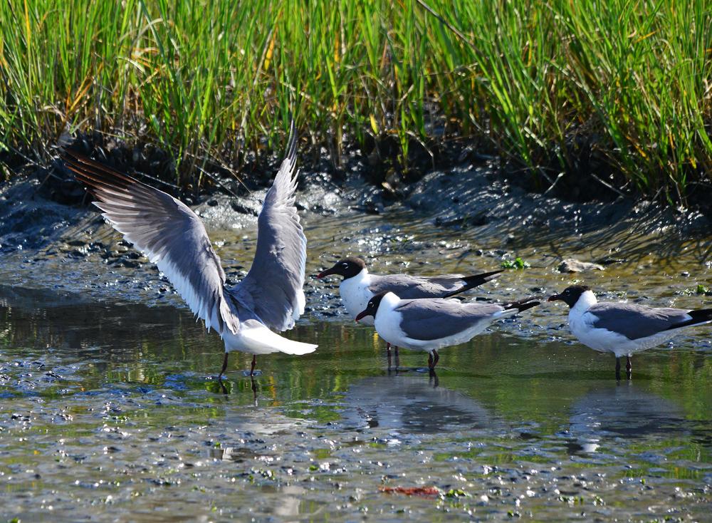 Nag Gull landing