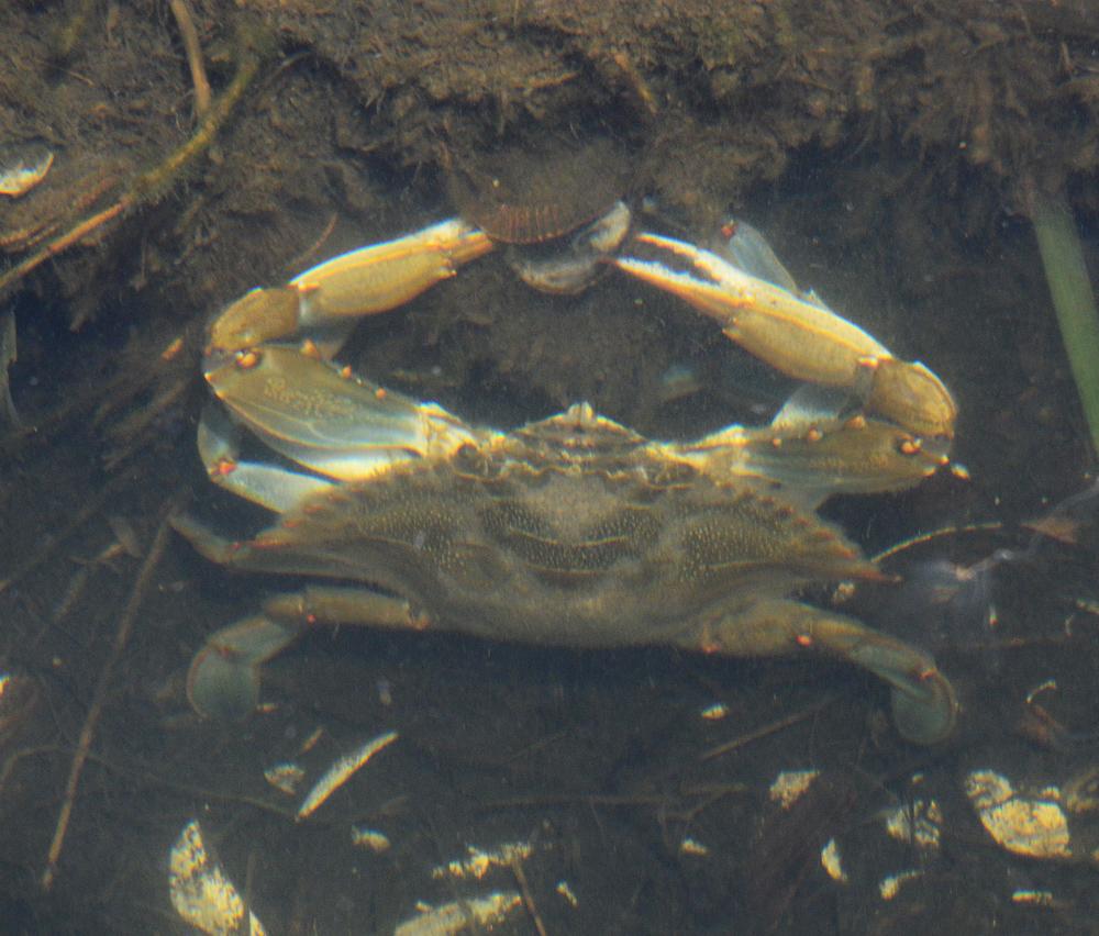 Blue Crab at Assateague