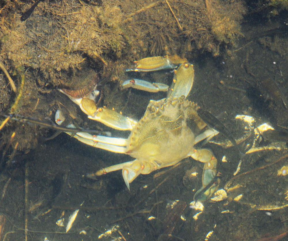 The blue crab feeding