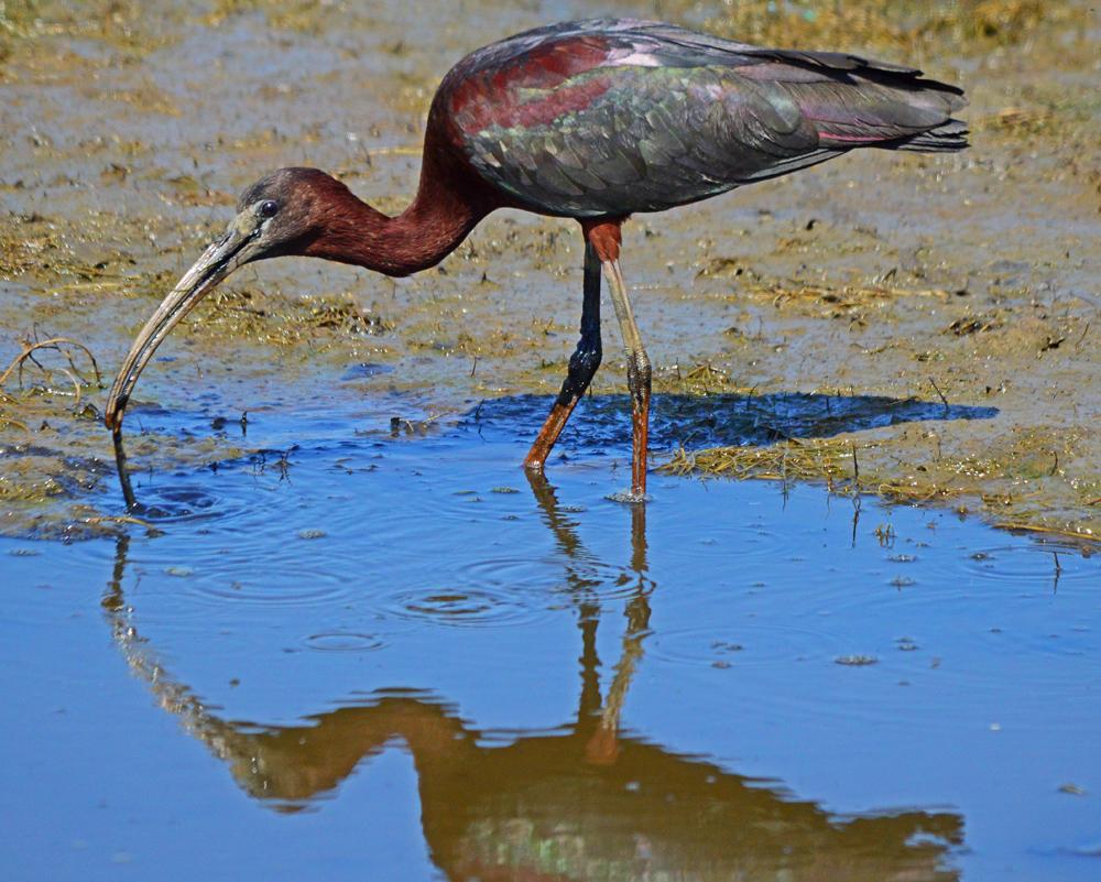 Glossy Ibis at Chincoteague