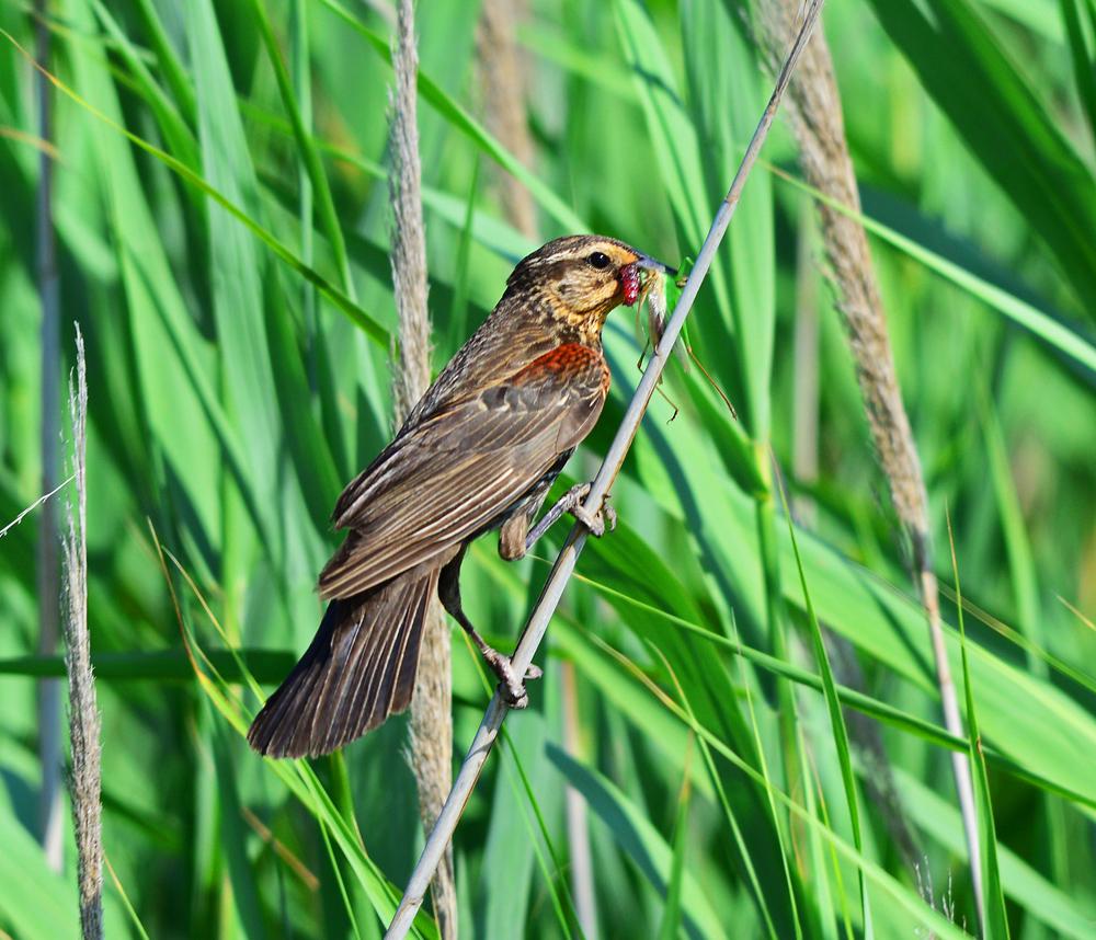 Female Redwinged blackbird