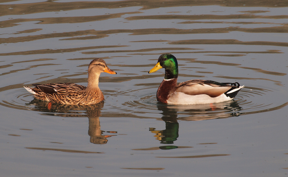 Mallard Ducks  in Courtship