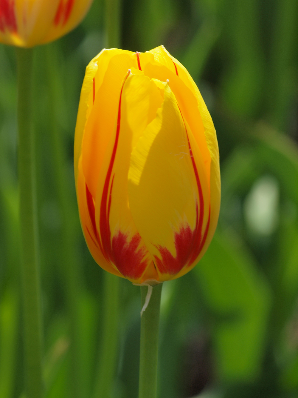 Tulip Red Yellow Cubed