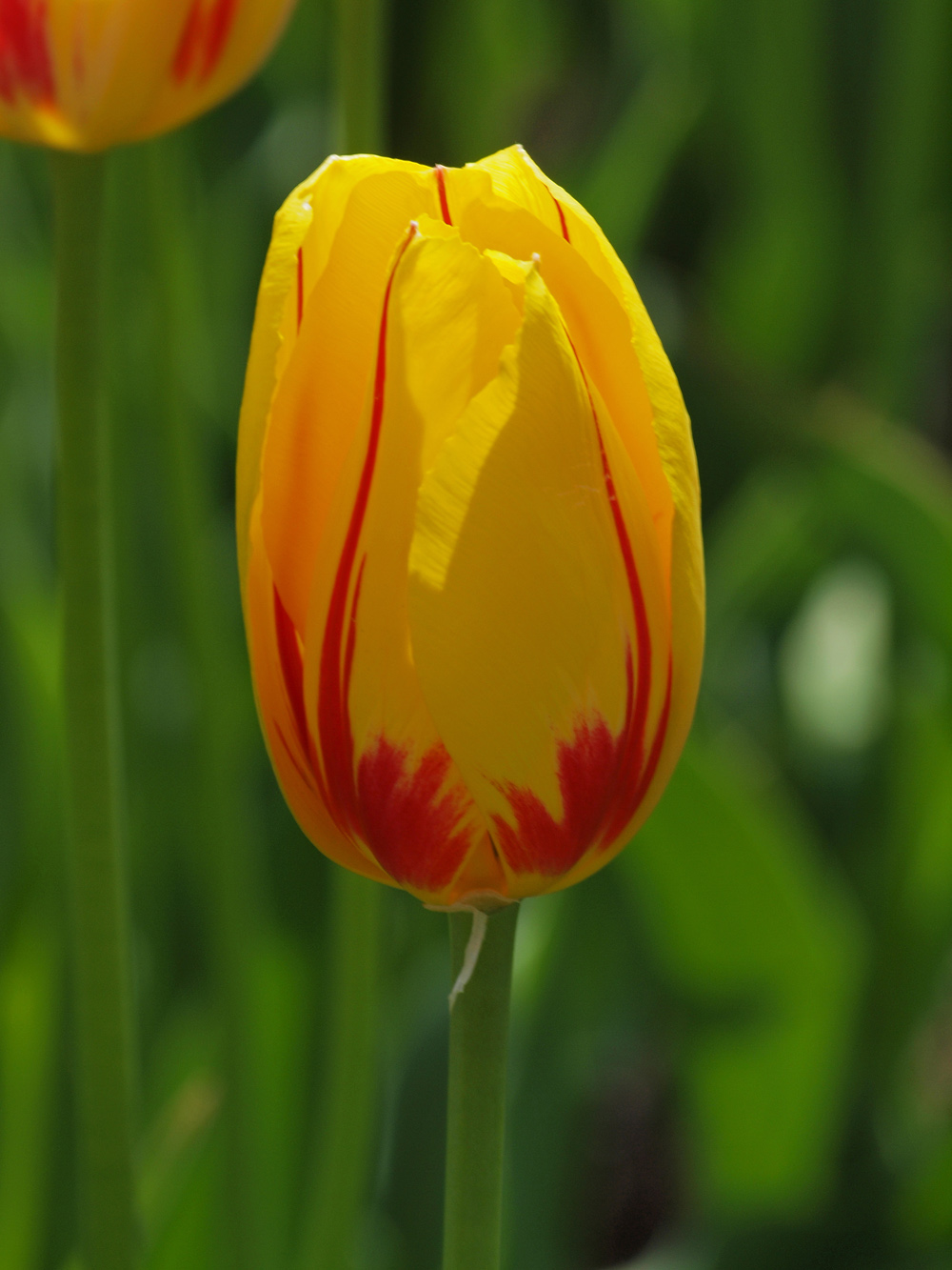 Colorful Single Tulip