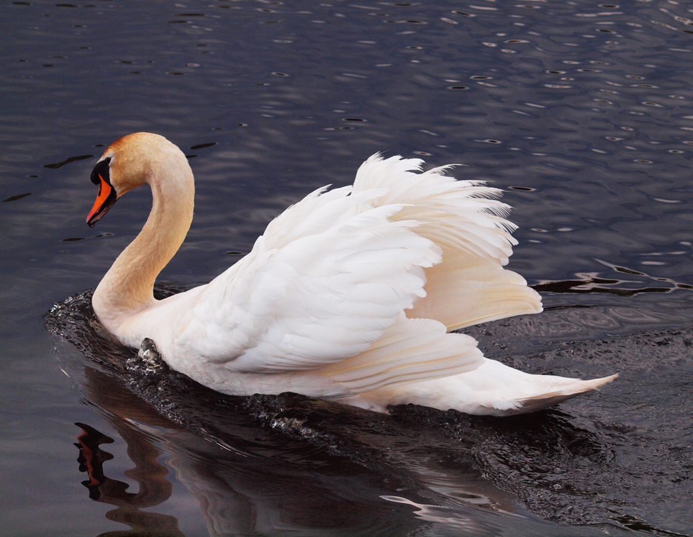 Mute Swan arching feathers