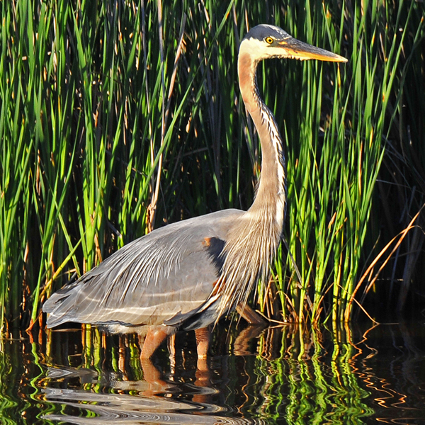 5. The Great Blue Heron