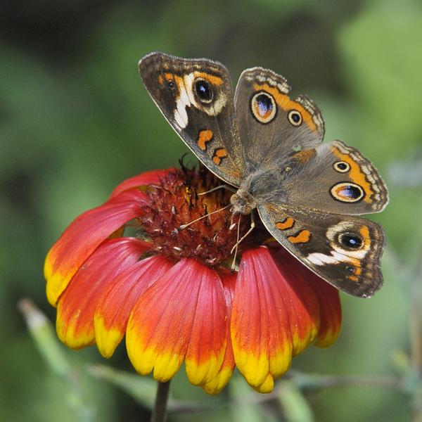 7. The Common Buckeye with Gaillardia flower