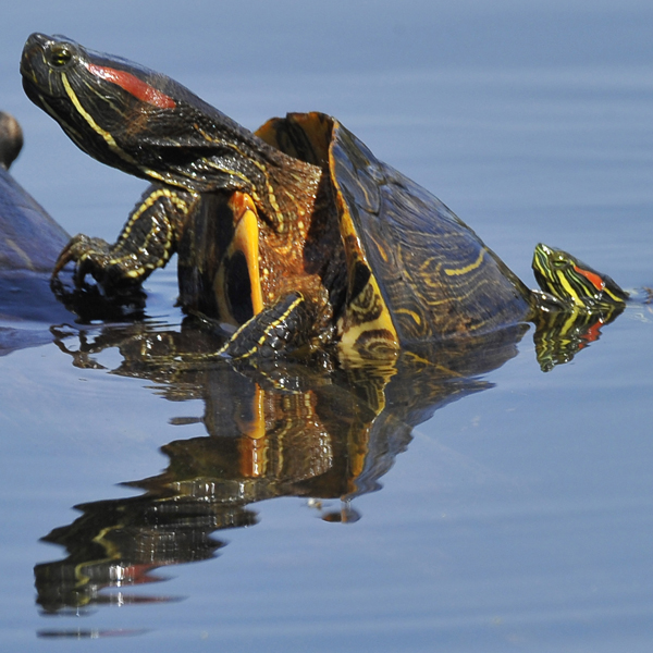 4. Red-Eared Slider Turtle