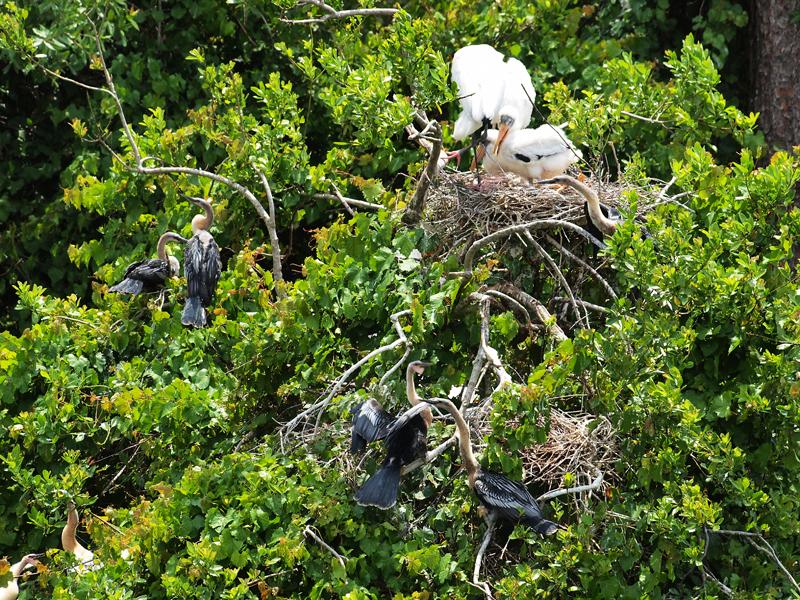 Storks and Anhinga nesting  Olympus - Nikon Imaging