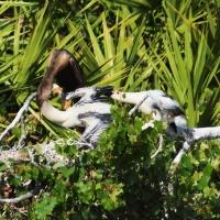 Anhinga feeding Olympus - Nikon Imaging