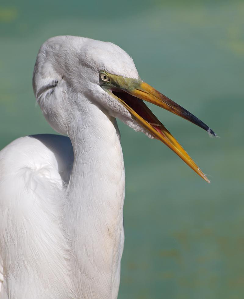 Great Egret Adult