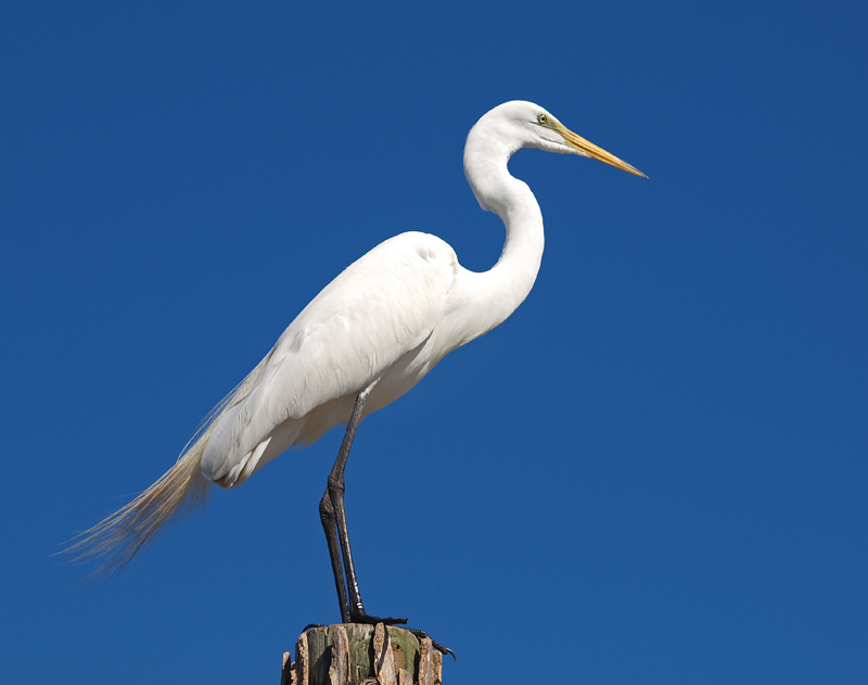 Great Egret side view