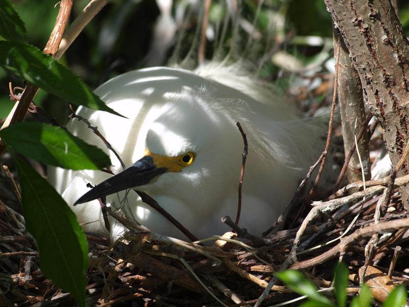 Egret Yellow Foot nesting