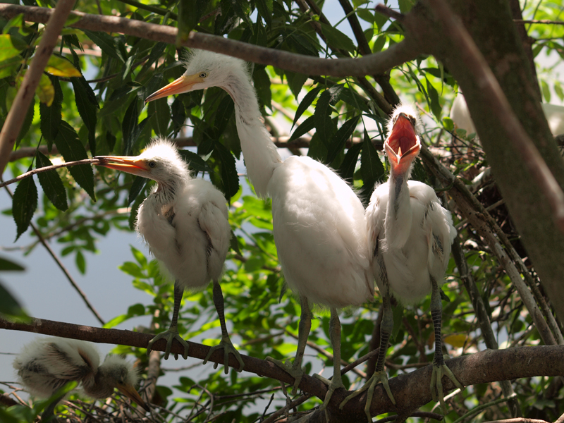 Young Egrets on nest