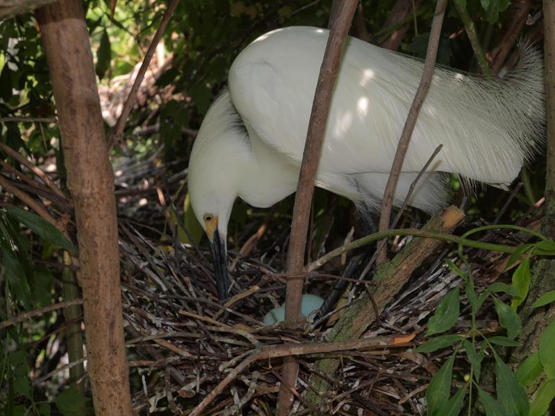 Yellow foot nesting.