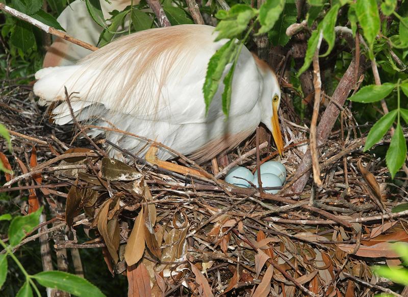 Cattle Egret Nesting