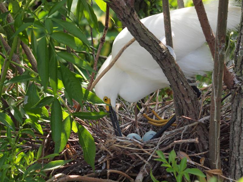 Yellow Foot Egret nesting