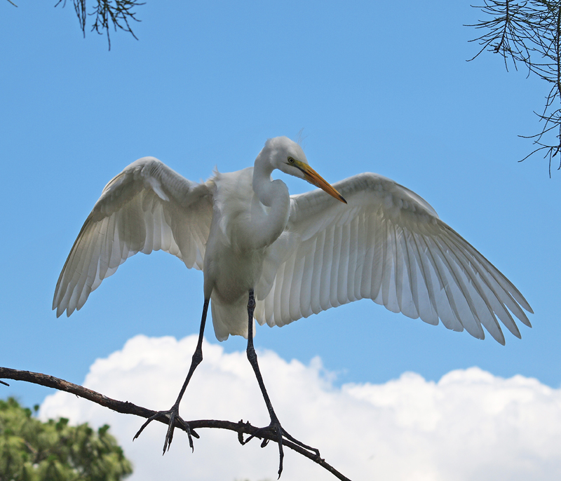 Wings of Great Egret