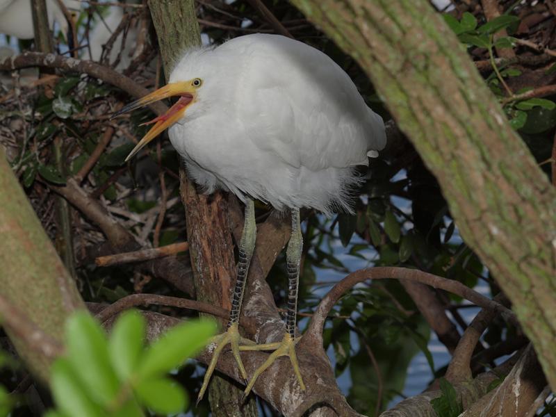 Yellow Foot Egret