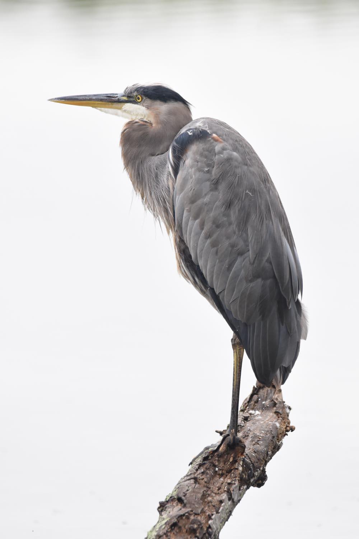 Heron near the pond edge