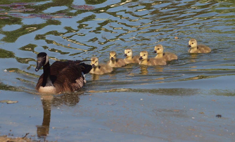 Goose and young goslings.