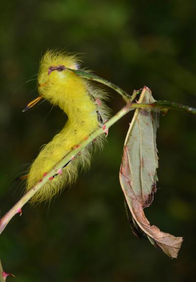 Wooley yellow catapillar
