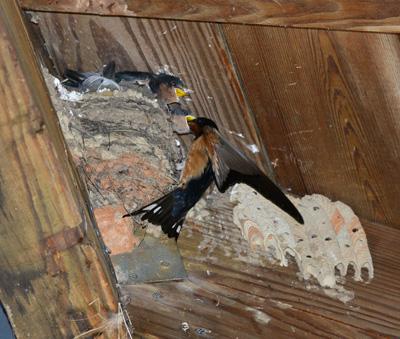 Feeding Barn Swallow