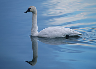 Swan in reflection