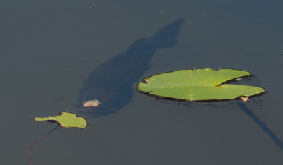 fish at water surface