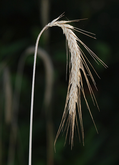 Native grass