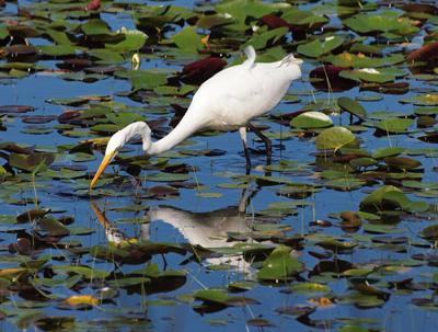 Egret looking in hope.