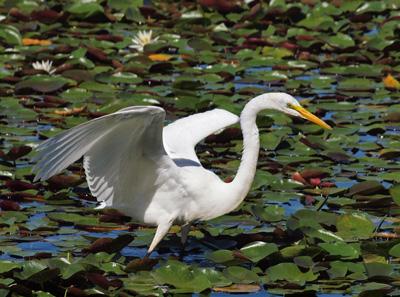 Snowy Egret wing shading